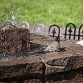 American Robin, bathing in the fountain, 03.jpg