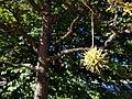 American Sweetgum (31045595641).jpg