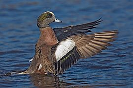 American Wigeon - natures pics3.jpg