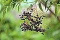American elderberry (Sambucus canadensis) (23663427868).jpg