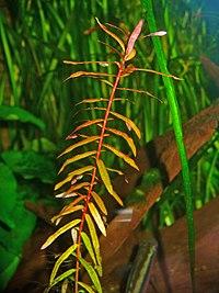 Ammannia senegalensis 001