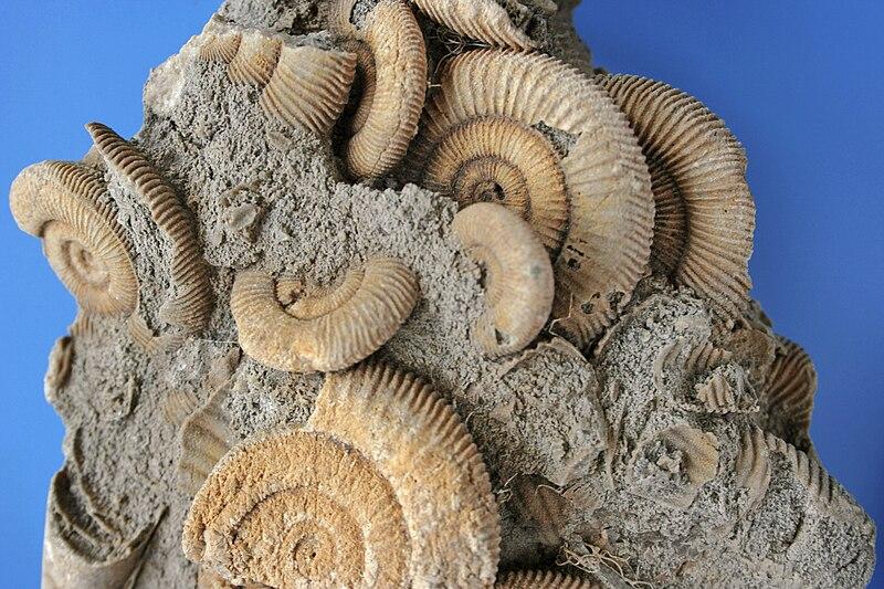 File:Ammonites Dactylio Ceras Commune Schleifhausen Germany Jura.jpg