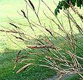 Amorpha fruticosa1pl.jpg