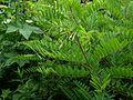 Amorpha fruticosa - Flickr - peganum (1).jpg