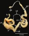 Amphidromus flavus reproductive system.png