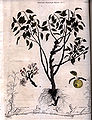 An apple tree engraving by William Miller for William Archibald 1818.jpg