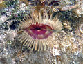 Anamobaea orstedii (split-crown feather duster worm) (San Salvador Island, Bahamas) 5 (15958074187).jpg