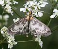 Anania hortulata (Small magpie Moth) - Flickr - S. Rae.jpg
