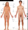 Anatomie des menschen - neu.png
