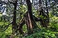 Ancient Sugi on Sado Island, Japan (199511709).jpg