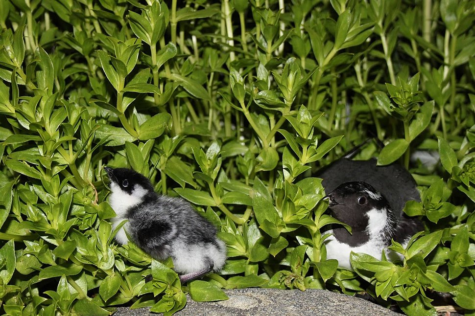 Ancient murrelet chick and adult by Ilana Nimz USFWS