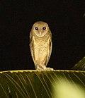 Tyto - Wikipedia - photo#41