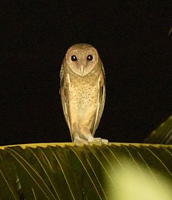 Andaman Masked Owl SS.jpg