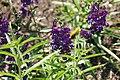 Angelonia angustifolia Angelface Blue 3zz.jpg