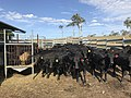 Angus weaners in Northern NSW Clarence Valley.jpg