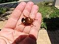 Anisorrhina flavomaculata; zigzag fruit chafer Scarabaeidae Cetoniinae IMG 9579.jpg
