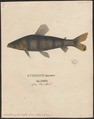Anostomus fasciatus - 1700-1880 - Print - Iconographia Zoologica - Special Collections University of Amsterdam - UBA01 IZ14700033.tif