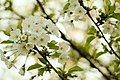 Another Spring Blooming (254538089).jpeg