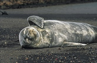 Weddell seal - Weddell seal pup with its grey natal coat, Deception Island