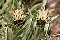 Antennaria dimorpha 7757.JPG