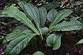 Anthurium ernestii (Araceae) (30172297412).jpg