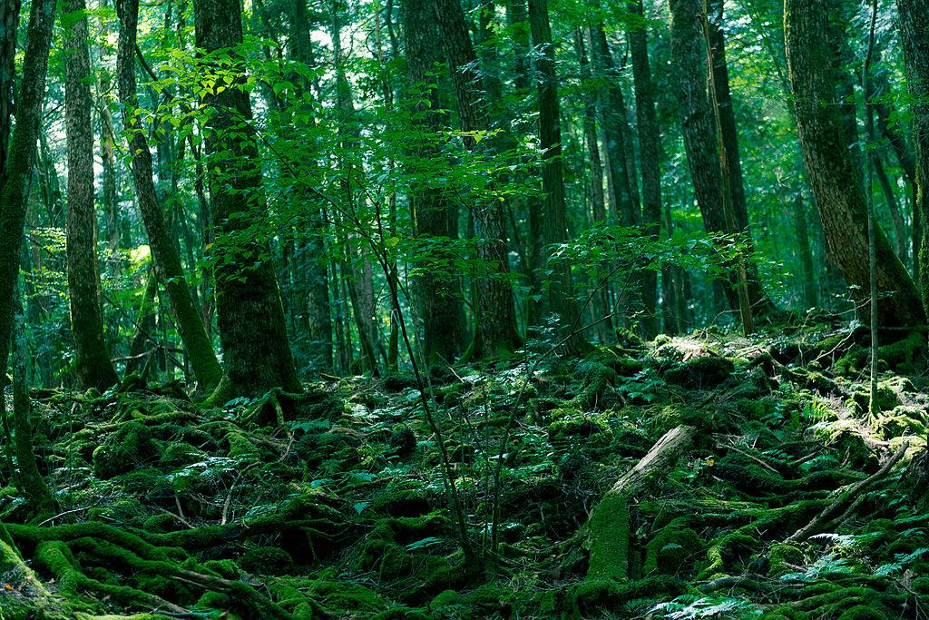 fileaokigahara forestjpg wikimedia commons