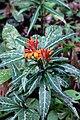 Aphelandra aurantiaca var. stenophylla (Acanthaceae) (29274959534).jpg