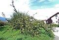 Apple tree in Sion.jpg