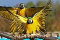 Ara arara -Diergaarde Blijdorp -two with wings open-8a.jpg