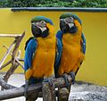 Ara ararauna -two captive perching-8a.jpg