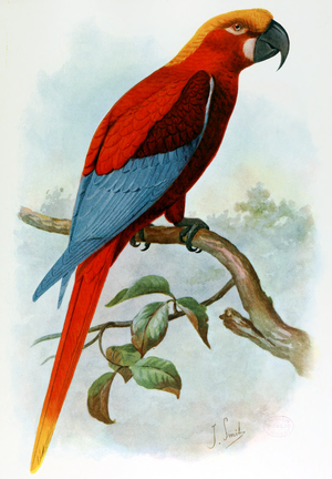Jamaican red macaw - Hypothetical restoration of a Jamaican red macaw by Joseph Smit, 1907