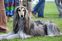 Arabian Hound 001 U.jpg