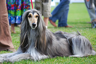 Chicago Picasso - An Afghan Hound dog