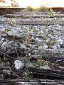 Arabidopsis thaliana sl1.jpg