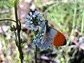 Arabis hirsuta mariposa 2009-4-04 DehesaBoyalPuertollano.jpg