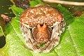 Arachtober 27 -3 - Bolas Spider - Mastophora phrynosoma, Julie Metz Wetlands, Woodbridge, Virginia (37249162724).jpg