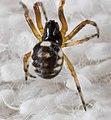 Araneus ejusmodi 28904272.jpg