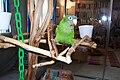 Aratinga acuticaudata -pet on wooden perch-8c.jpg