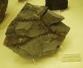 Araucarites rotzanus.JPG