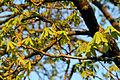 Ardagger - Naturdenkmal AM-071 - beginnende Blüte des Kastanienbaums.jpg