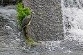 Ardea cinerea in Aveyron 04.jpg