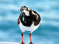 Arenaria interpres -Anegada, British Virgin Islands -perching on a boat-8d.jpg