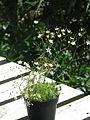 Arenaria ledebouriana (19298899842).jpg