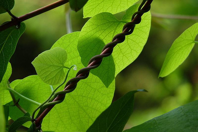 File:Aristolochia macrophylla.jpg