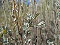 Artemisia arbuscula (5042496448).jpg
