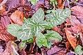 Arum italicum in Aveyron (1).jpg