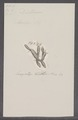 Ascidia spec. - - Print - Iconographia Zoologica - Special Collections University of Amsterdam - UBAINV0274 092 04 0002.tif