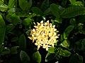 Ashoka flower in the morning.jpg