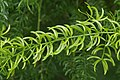 Asparagus racemosus 0775.jpg
