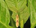 Assassin Bug - Zelus luridus, Occoquan Regional Park, Lorton, Virginia.jpg